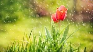 tulipa-chuva