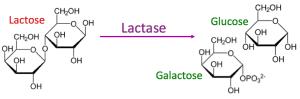 lactase fxn